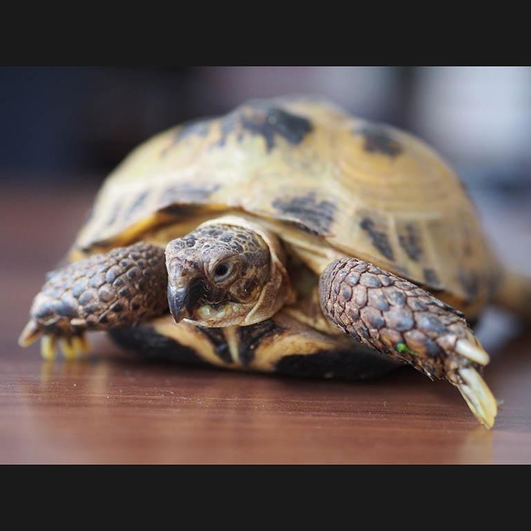 żółw Velux